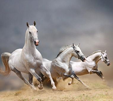 Travail du cheval au Mesnil-sur-Blangy