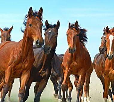 Ventre de chevaux Mesnil-sur-Blangy